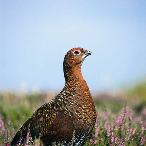 Scotland's grouse moors fly high in their PR efforts
