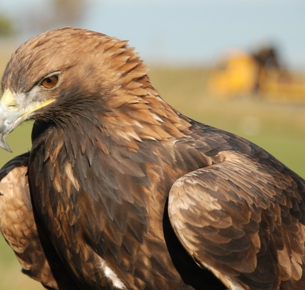 'Missing' satellite-tagged eagle: new video footage casts doubt on RSPB allegations