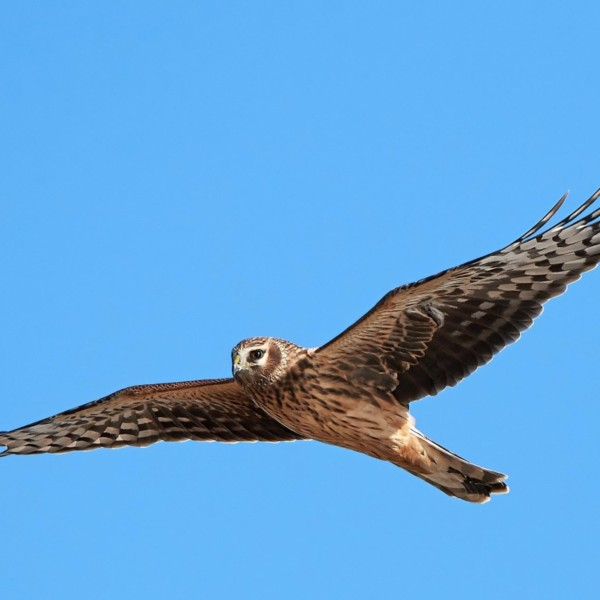 Leadhills Estate appeals for 'information and clarity' on alleged shooting of Hen Harrier